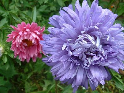 FLOWER ASTER CHINA CREGO MIXED 400 FINEST SEEDS  ANNUAL