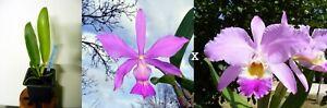 Cattleya-walkeriana-x-gaskelliana-Orchidee-Orchid