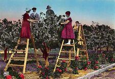 BR52810 La cote d azur la cueillette de la fleur d oranger    France