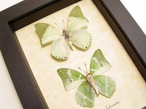 Real Framed Charaxes Subornatus Pair The Ornate Green Charaxes Butterflies 8155