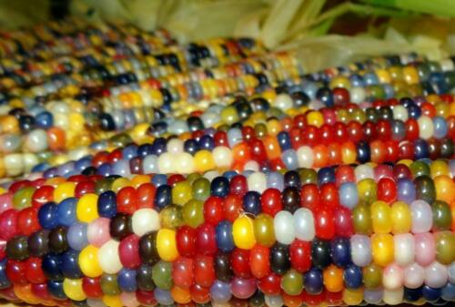 Corn Seeds Multicolored Ukraine corn ears S0843 5 seeds Farmer/'s dream
