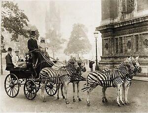 RARE-Vintage-ZEBRA-Horse-CARRIAGE-London-COACH-Antique-PHOTO-CANVAS-Art-PRINT