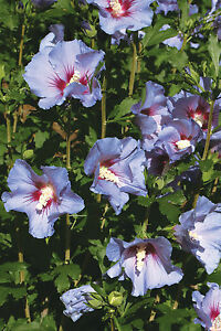 Rose Of Sharon Seeds Azurri Satin Hibiscus Syriacus Winter
