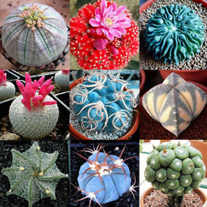 400pcs Mixed Succulent Seeds Lithops Rare Living Stones Plants Cactus HomeBLIS