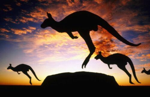 Framed Print Picture Poster Animal Shadow Art Kangaroos at Ayers Australia
