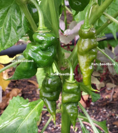 Trinidad Scorpion Green: The Most Rare & Unique in the Trinidad Scorpion Family!