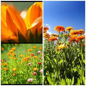 ORANGE-SALAD-Calendula-edible-flowering-plant-in-100mm-pot
