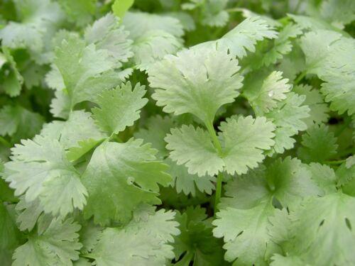 herbe Coriandre 1000 graines LOISIRS