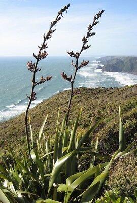 20 graines fraîches Phormium Tenax-Nouvelle-Zélande lin