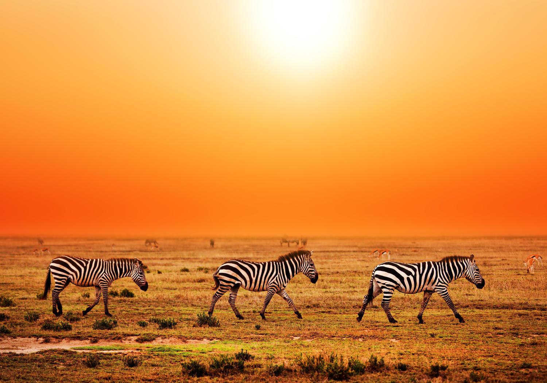 Fototapete Zebras in der Savanne  Tapete Vliestapete