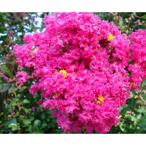10 Live Clippings Pink Crape Myrtle Grows Into Huge Flower