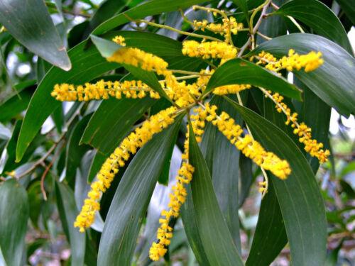 10 Acacia auriculiformis SEMI SEEDS rara mimosa albero con fiori TREE flowers
