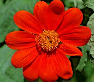 Flower Tithonia Torch Mexican Sunflower - 1000 seeds