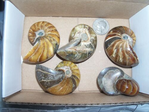 About 17 per lot 416-359 MYO 1//4 pound lbs of fossil bivalves clams