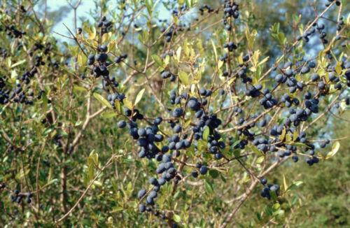 Forestiera segregata Florida privet swampprivet rare native berry seed 10 SEEDS