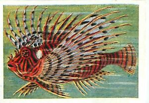 N-120-IMAGE-CARD-Feuerfische-Pterois-zebrafish-Pterois-Fish-Poisson-30s