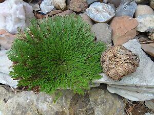 Rose of Jericho Resurrection Plant