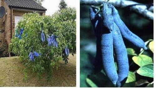 mag Nässe Samen Deko Exotische Randbepflanzung für den Teich Blaugurkenbaum .