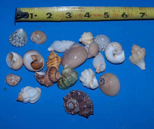 item # LL20h small Hermit Crab Shells FREE SHIPPING 20 ASSORTED  tiny READ