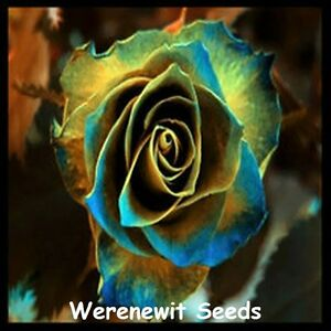 20-x-NEW-RARE-EXOTIC-GOLDEN-BLUE-EDGED-ROSE-SEED-FREE-POST-FRESH-STOCK