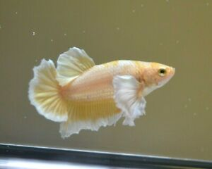 Live Betta Gold Dumbo Plakat Halfmoon Male