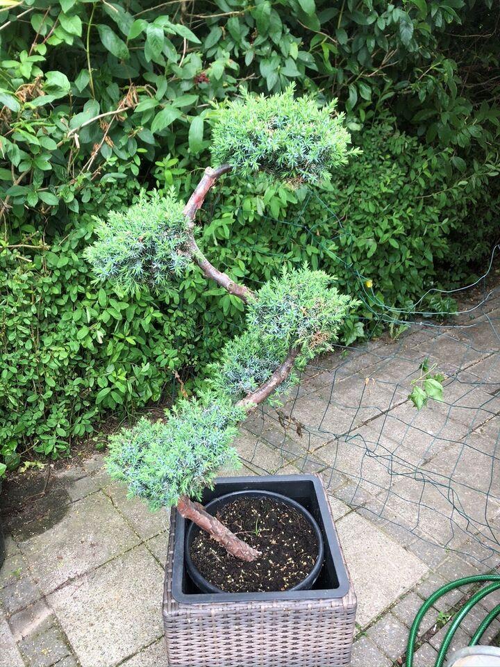 Bonsai træ, Juniperus chinensis Blue Alps Bonsai træ