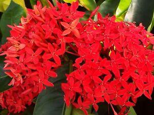 Super King Tropical Ixora Plant Shrub Extra Large Cluster