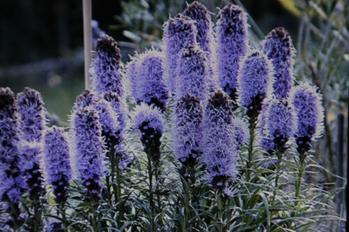 Liatris spicata #779 10 Samen Prachtscharte