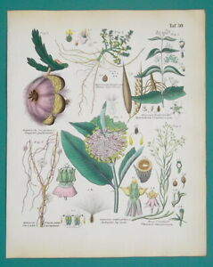 FLOWERS-Botany-Starfish-Milkweed-Dodder-Saltwort-Thesium-1845-H-C-COLOR-Print