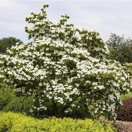 Hartriegel Amerikanischer Blumenhartriegel Cornus florida 60-80 cm im Topf
