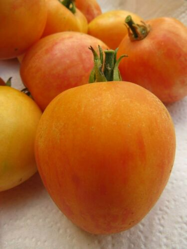 Neon Peach tomato looks just like a ripe peach