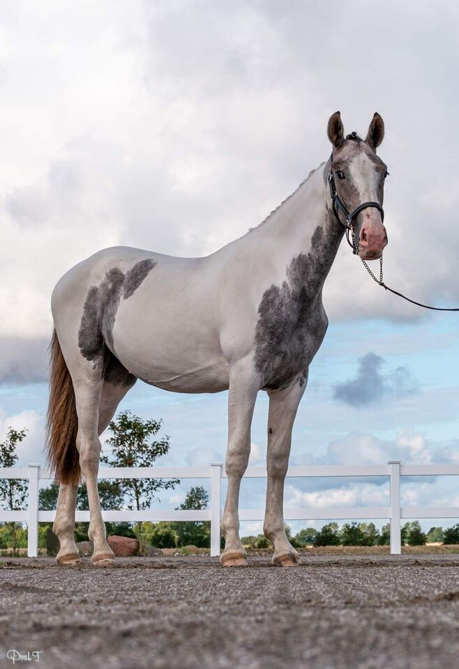 Spændende fremtids hest med unik farve Rabicano