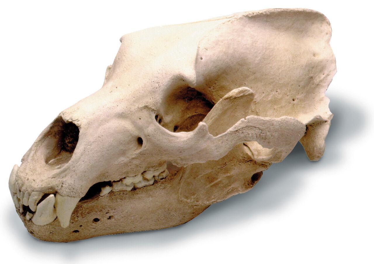 selección larga Oso Pardo Adulto tamaño completo cráneo Réplica de de de Calidad de museo con soporte 15 x 9 x 9   entrega de rayos