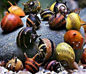 Horned-nerite-3-or-5-or-10-Snails-MIX-COLOR-Snails-SUPER-PRICE