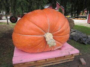 20 Seeds of Pumpkin Giant Vegetable garden Vegetables Plants
