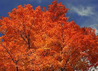 20 Red FLAME / TARTARIAN MAPLE TREE Acer Seeds *Comb SH