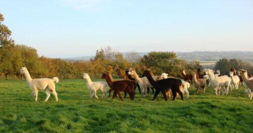 ALPACA CONTRASTING SOCKS soft warm 55/% Alpaca wool  45/% Nylon hard wearing UK