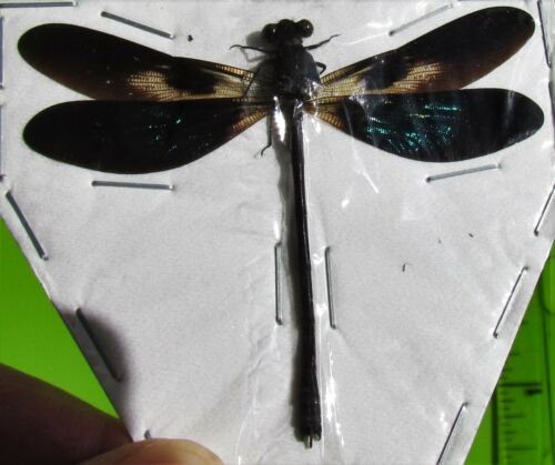 Real Iridescent Wing Dragonfly Odonates Euphaea variegata Spread FAST FROM USA