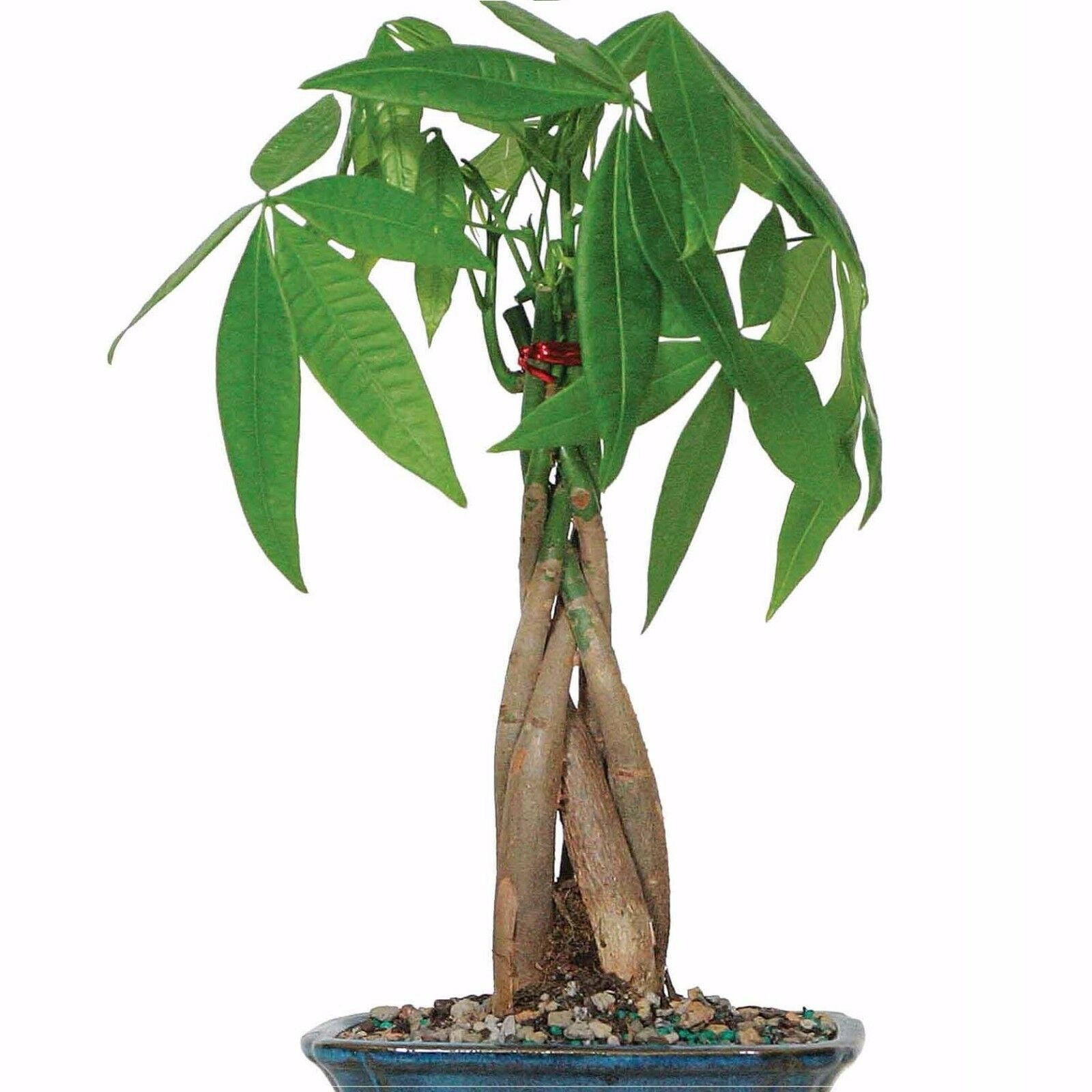 Real Live Good Luck Fortune Braided Money Tree Plant Indoor Houseplant 18 Tall For Sale Online Ebay