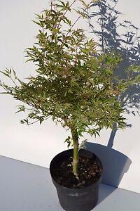 Acer giapponese palmato butterfly di 2 anni alti 40-70cm in vaso diametro 16cm