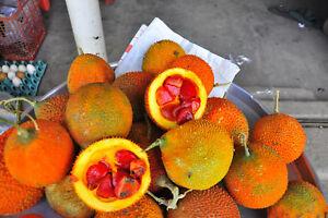 5-Samen-Momordica-cochinchinensis-Gac-Frucht-Baby-Jackfrucht