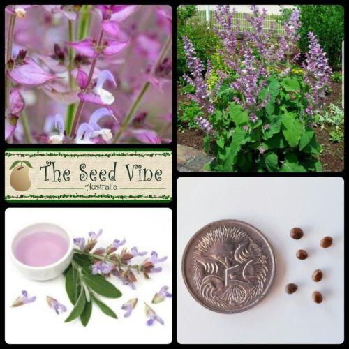 50 CLARY SAGE SEEDS Salvia sclarea Herb Essential Oil Medicinal Culinary
