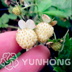 Pineberry-Bonsai-500-PCS-Seeds-Garden-Fruits-And-Vegetable-White-Berries-2020-P