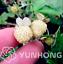Pineberry-Bonsai-500-PCS-Seeds-Garden-Fruits-And-Vegetable-White-Berries-2020-P thumbnail 1