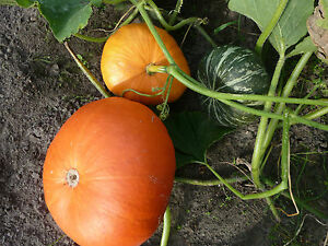 Gemüse Saatgut,Gurken Samen 10+Stück aus Eigenanbau Bulgarische Landgurke Samen