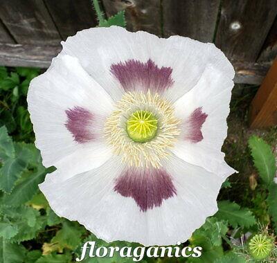 Izmir Tasmanian Purple Poppy 1000+ seeds