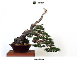 Pinus sylvestris Pino silvestre Seeds 50 semillas