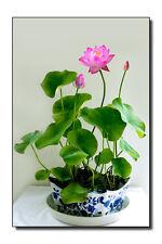 10 pcs Water Lily mini Lotus Seeds  Bonsai Seeds Aquatic Plants MIX Seeds