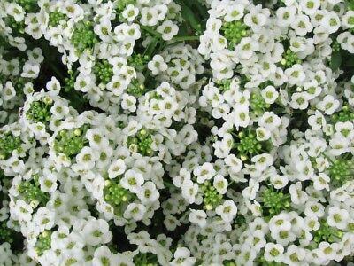 Flowers Alyssum Benthamii Eu Standard Quality Seeds Cutting Garden Zonden En Botten Versterken