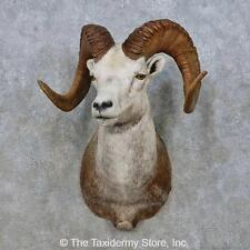 #15009 P+ | Stone Sheep Taxidermy Shoulder Mount For Sale